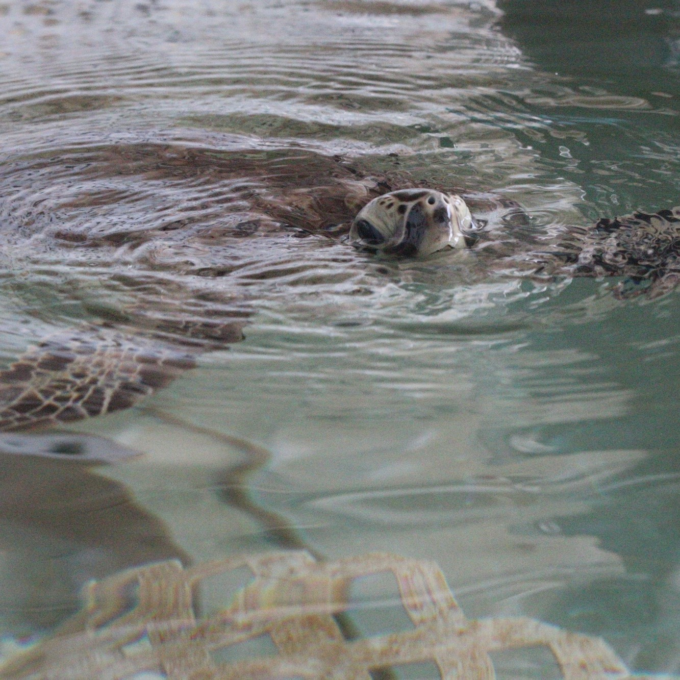 Sea turtle picture taken by the Palm Coast Observer at the Sea Turtle Hospital