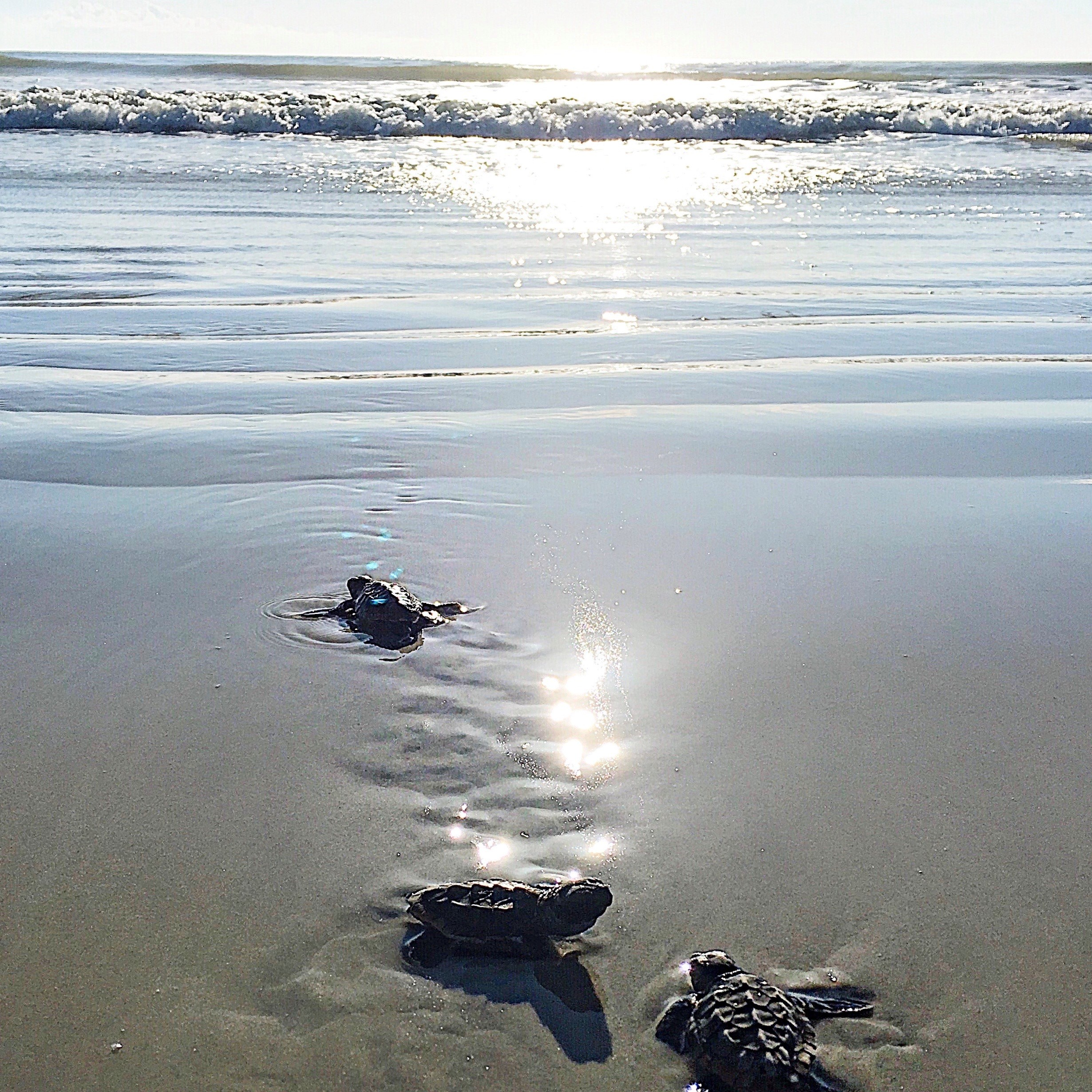 Sea turtle hatchlings